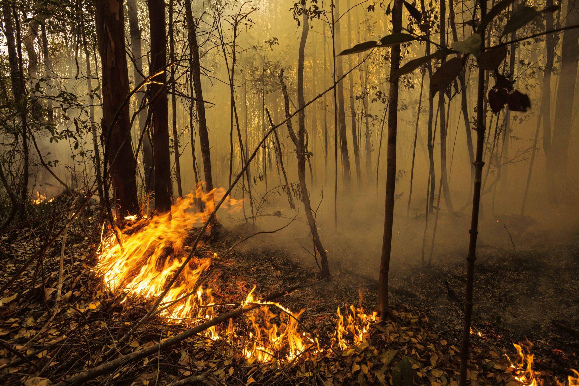Les feux visant à défricher la forêt (notamment au profit des palmiers à huile) ont détruit ...