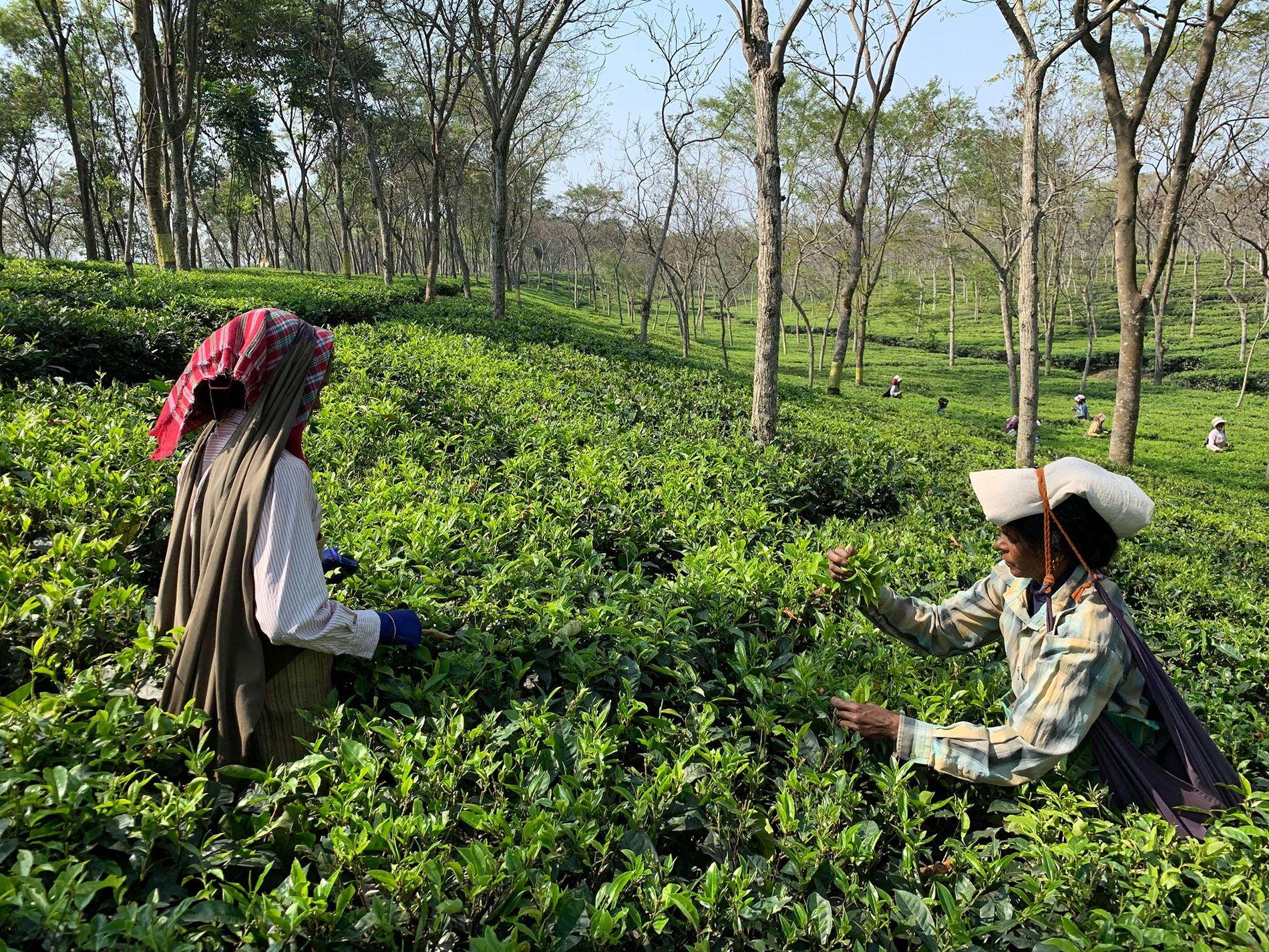 Dans les plantations de thé du Bengale occidental, les cueilleuses sont souvent préférées aux hommes pour le plus grand soin qu'elles observent lors de la sélection des feuilles.