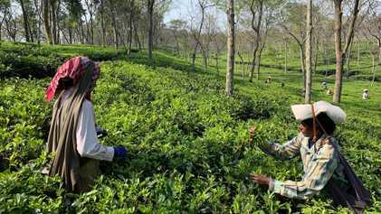 Inde : le dangereux quotidien des cueilleuses de thé