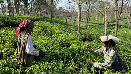 Dans les plantations de thé du Bengale occidental, les cueilleuses sont souvent préférées aux hommes pour ...