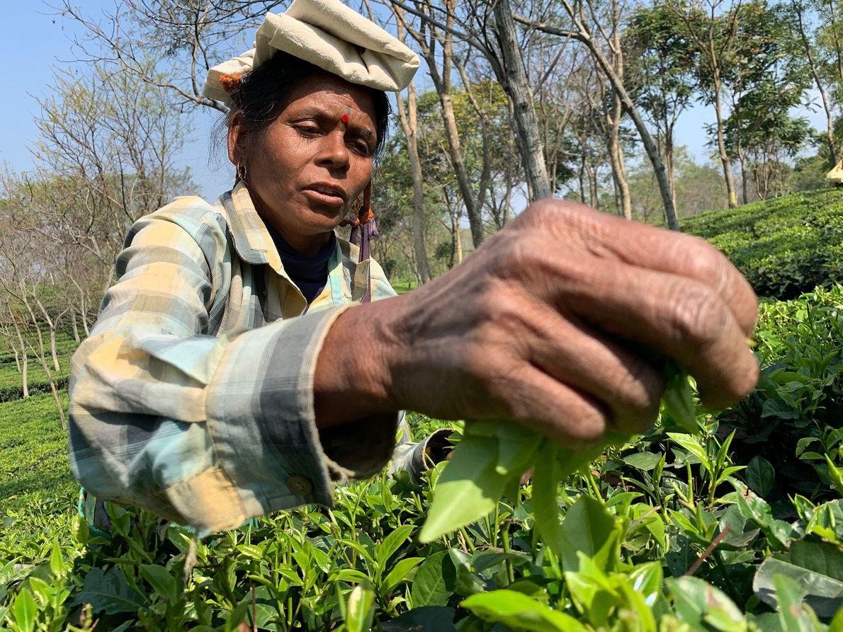 Lila Oraon, 40 ans, cueille du thé depuis 25 ans.