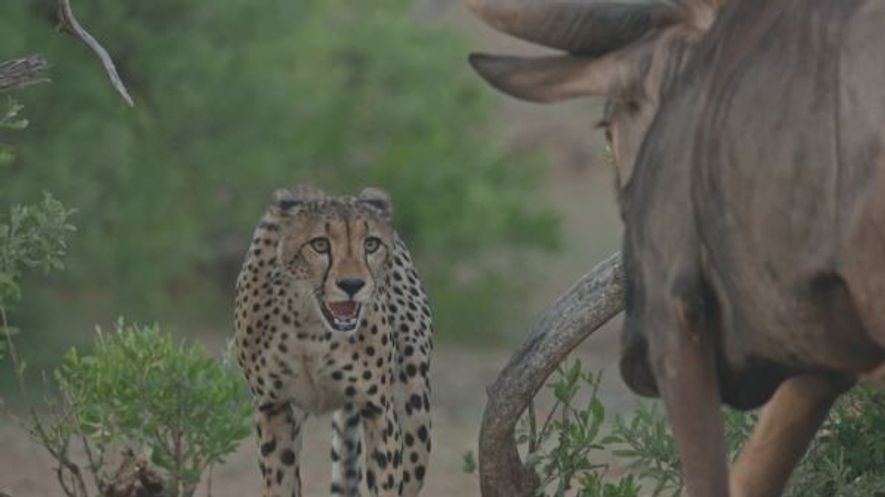 inexperienced cheetahs try to hunt