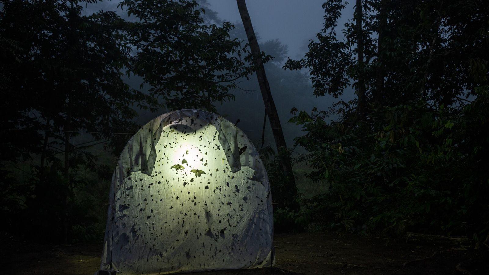 Une lampe placée sous un drap sert de piège pour collecter des insectes nocturnes dans une ...