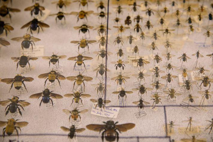 Certaines personnes vont même jusqu'à collectionner des abeilles conservées. Il y en a plein à la ...