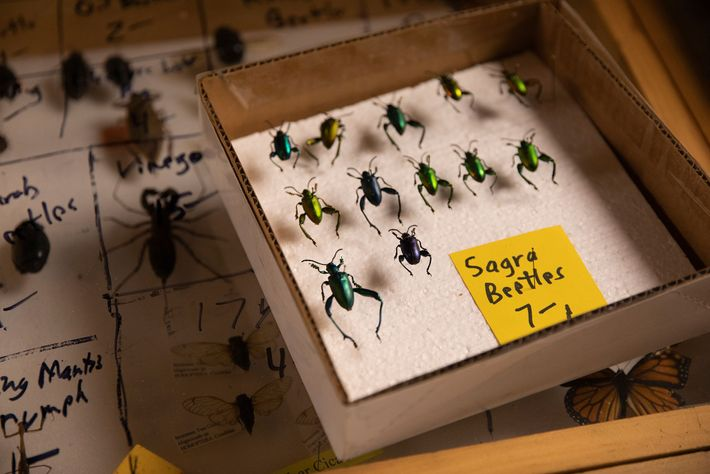 Au stand de Bob Duff, à la foire aux insectes, les coléoptères Sagra, également appelés coléoptères ...