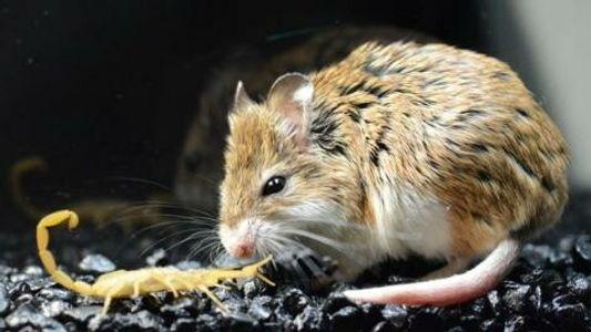 Le scorpion le plus venimeux d'Amérique du Nord s'attaque à une souris