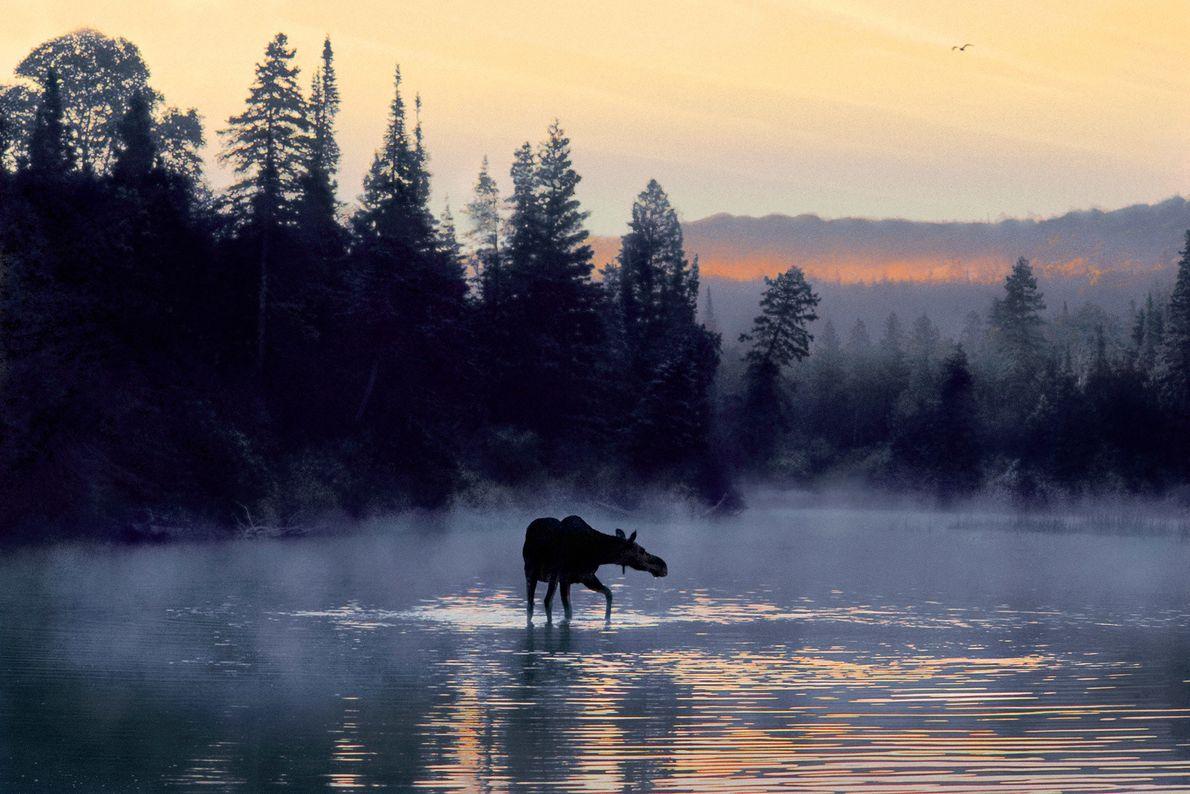 Située à l'extrémité nord du lac Supérieur, l'Isle Royale, dans la région des Grands Lacs a attiré 26 ...