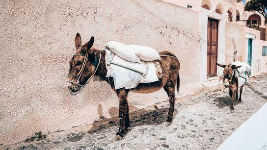 Un âne dans une ruelle de Santorin.
