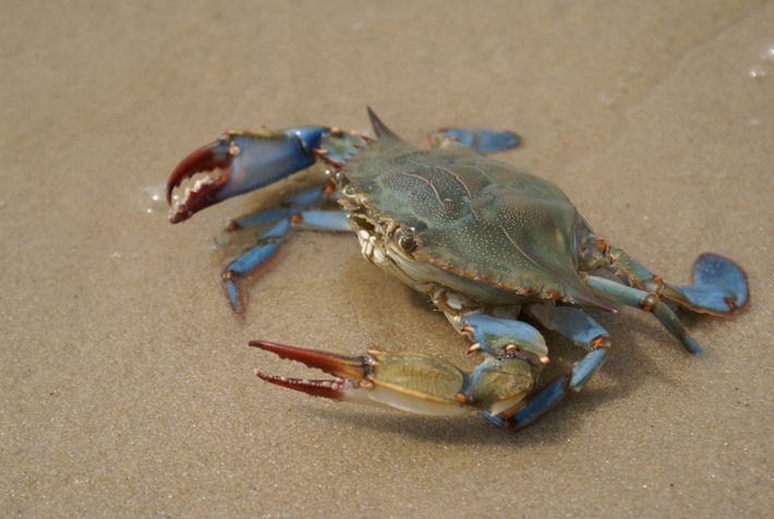 Les pinces rouges de ce crabe bleu indiquent que c'est une femelle.