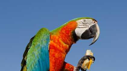 Pourquoi les perroquets gaspillent-ils leur nourriture ?
