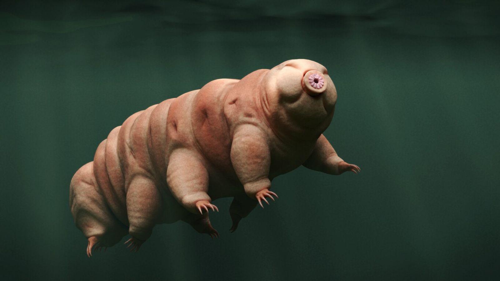 Le nom tardigrade vient du latin tardus gradus (« marcheur lent »). On en connaît plus de 1 200 espèces, vivant dans des milieux variés et ...