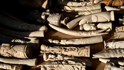 La destruction de l'ivoire illégal peut-elle sauver les éléphants ?