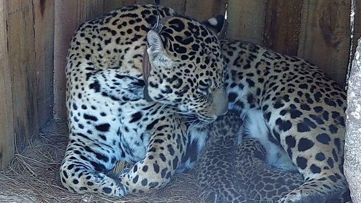 Deux bébés jaguars sont nés en Argentine (une première depuis 100 ans)