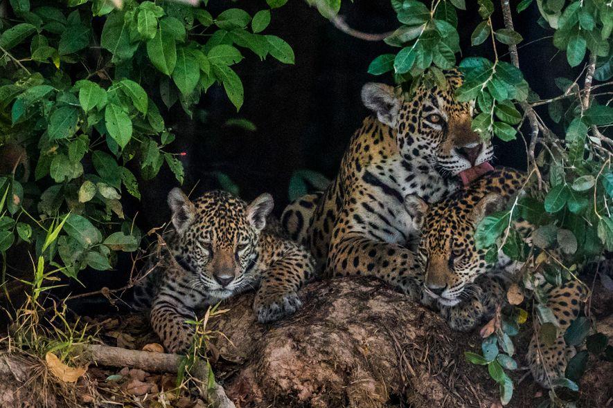 Une mère fait la toilette de ses petits, dans le Pantanal. Les jaguars s'accouplent en toute ...