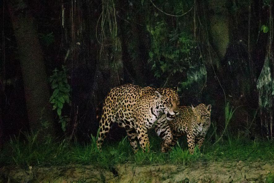 Une mère et son petit sont en maraude, le long de la rivière Cuiabá, au Brésil. ...