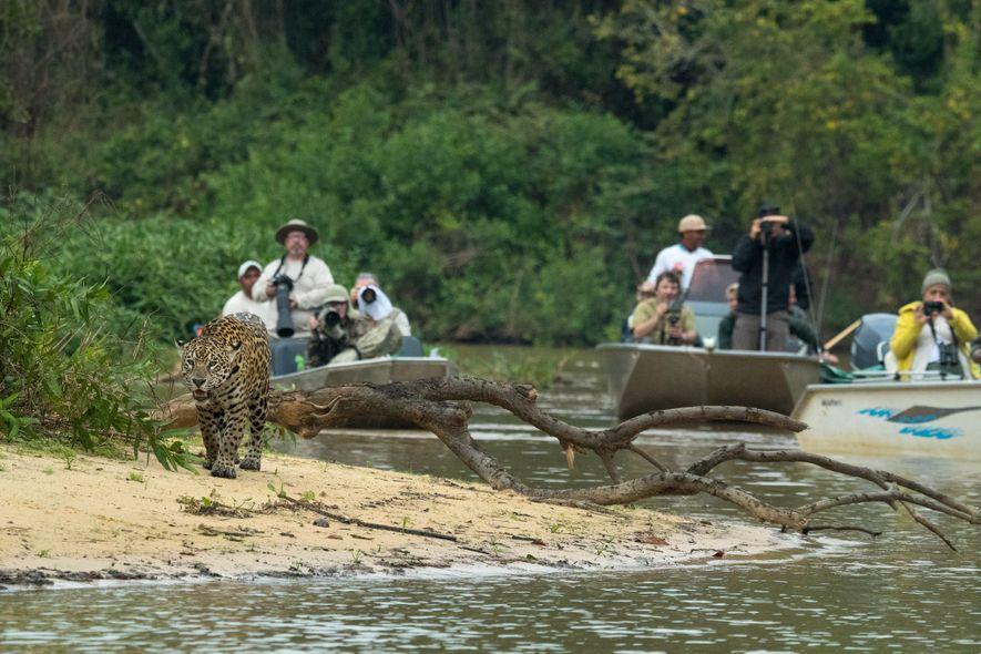 Les écologistes travaillent dans certaines régions du Brésil et dans d'autres zones de l'aire de répartition ...