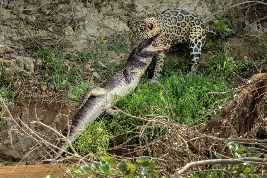 See Inside the Hidden World of Jaguars