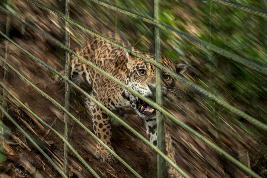 La mère de ce jeune jaguar mâle a été tuée par un éleveur dont elle avait ...