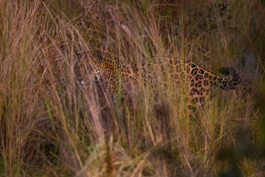 Un jaguar cherche une proie, dissimulé dans les hautes herbes du Pantanal.