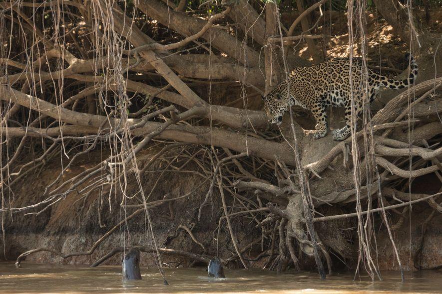 Les loutres géantes du Pantanal s'unissent pour repousser les félins dans l'eau ; ce jaguar les ...