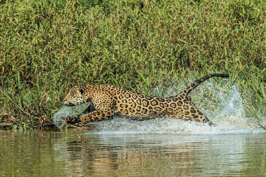 Un jaguar pourchasse un caïman dans le Pantanal. L'animal est même capable de plonger pour attraper ...