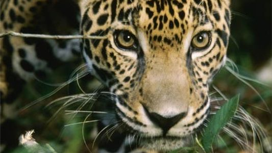 Mexique : le nombre de jaguars a progressé de 20 % en 8 ans
