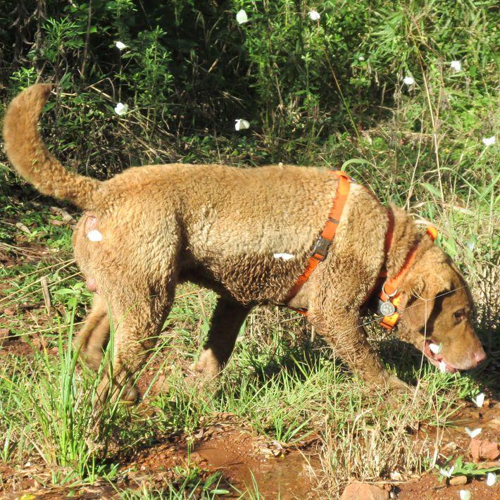 Un chien retriever de la baie de Chesapeake a été entraîné à renifler des excréments d'animaux ...
