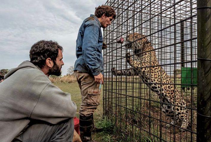 Le biologiste Pablo Guerra (debout) s'occupe d'un jaguar reproducteur mâle de 18 ans, au Centre de ...