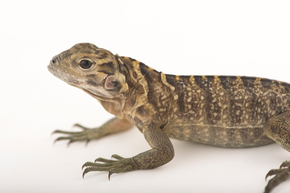 Iguane terrestre de la Jamaïque