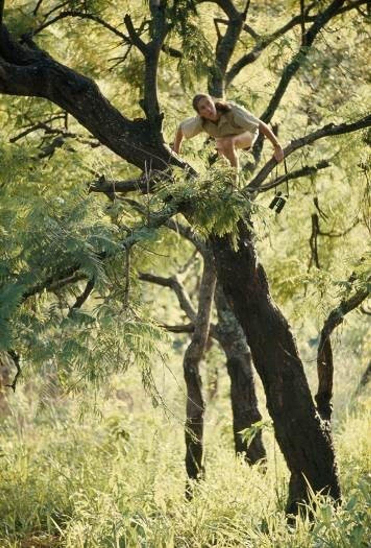 Jane Goodall grimpe à un arbre pour mieux voir les chimpanzés. Parc national de Gombe Stream, ...