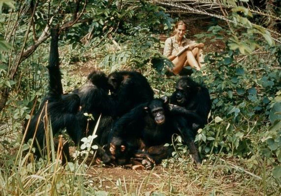Jane Goodall étudie le comportement des chimpanzés sauvages pendant qu'ils font leur toilette. Parc national de ...