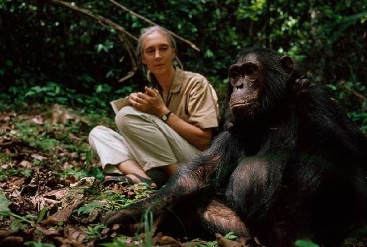 Jane Goodall et sa vieille amie, Fifi, le dernier chimpanzé du groupe étudié par Jane lors ...