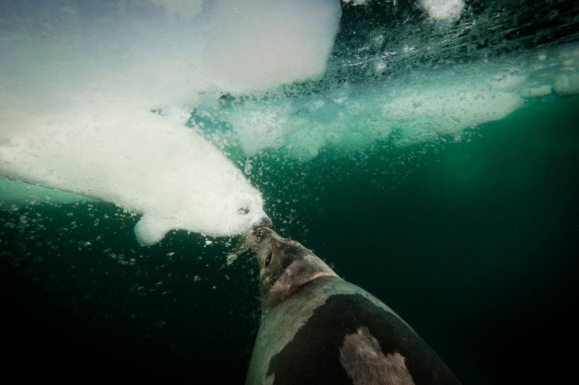 Dans cette photo de Jennifer Hayes, une femelle phoque du Groenland câline son petit et lui ...