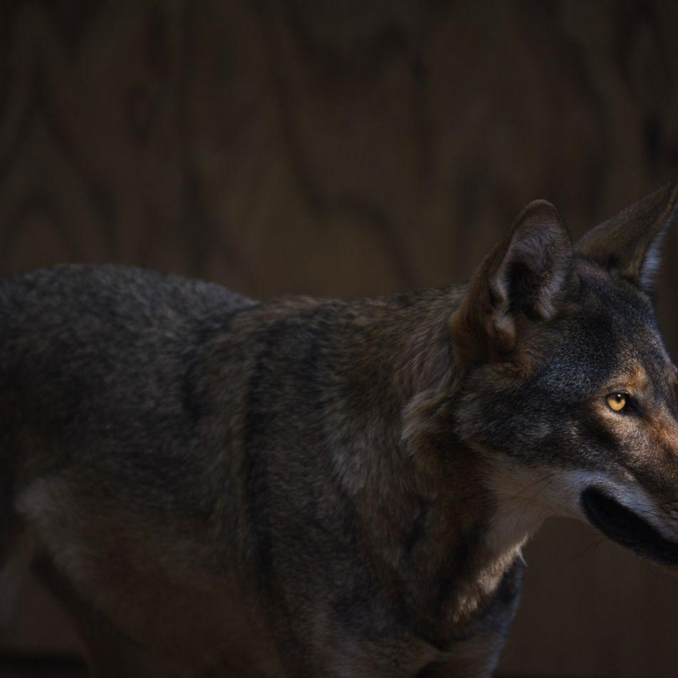 Huit loups rouges relâchés dans la nature : nouvel espoir pour cette espèce en danger critique ...