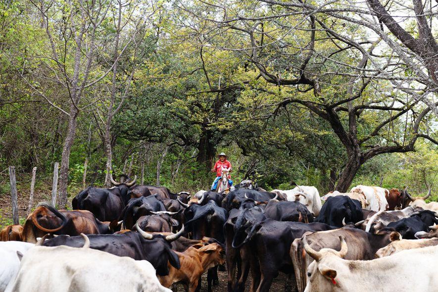 Exercice physique et bain de nature sont le quotidien de Jilberth, sabanero de son état (cow-boy ...