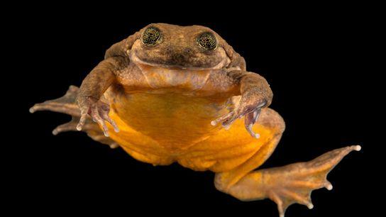 Juliette, une grenouille aquatique de Sehuencas récemment découverte, semble sourire à l'objectif le 19 janvier 2019.