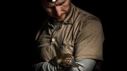 Australie : les scientifiques se mobilisent pour sauver les ornithorynques