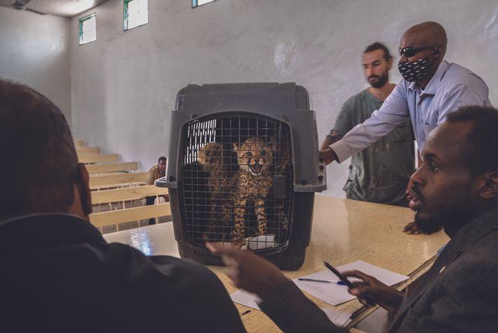 Le juge (sur la gauche) examine 5 des 10 guépards confisqués dans l'affaire Cabdi Xayawaan et ...