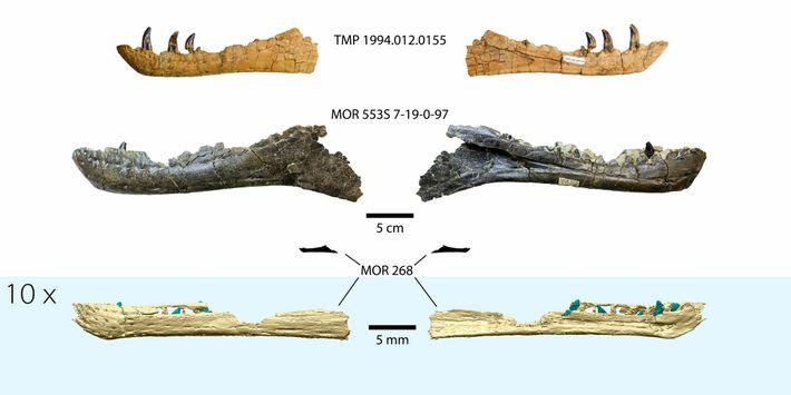 Comparaison de la reconstruction 3D de la mâchoire du tyrannosaure embryonnaire (en bas) avec les mâchoires ...