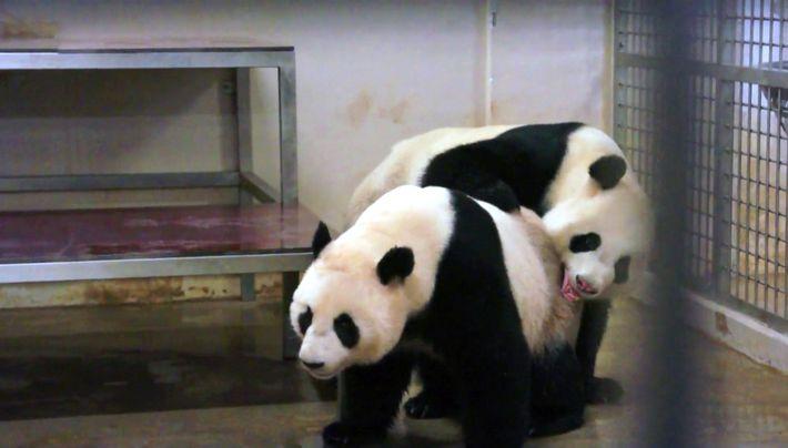 kai kai et tcha tcha, un couple de panda hors norme