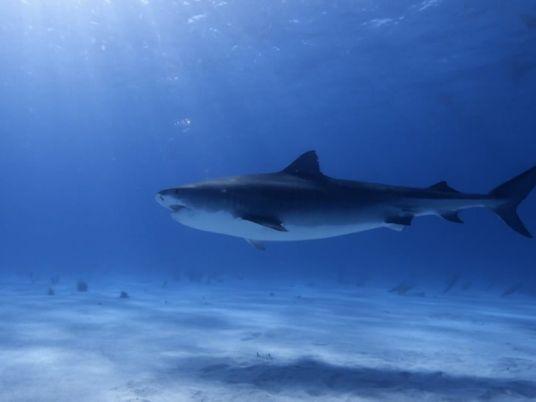 Kamakai : le plus grand requin-tigre connu est une femelle