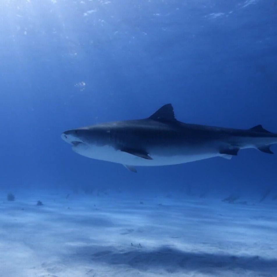 Le plus grand requin-tigre connu est une femelle