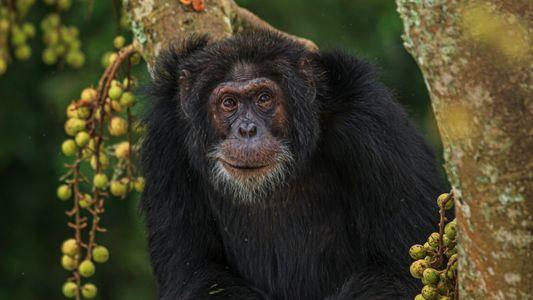 Et si les chimpanzés sauvages pouvaient nous apprendre à vieillir en bonne santé ?