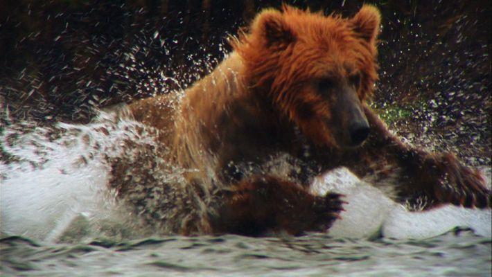 Un ours attaque un kayak