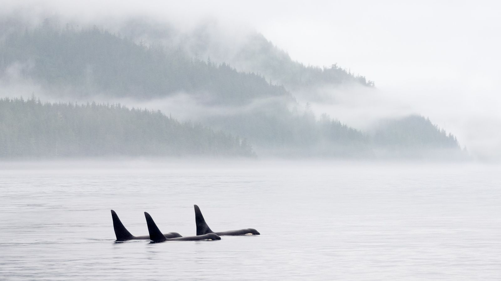 Les orques, bien qu'adoptant des comportements grégaires, ont un système social « matrilinéaire », basé sur ...