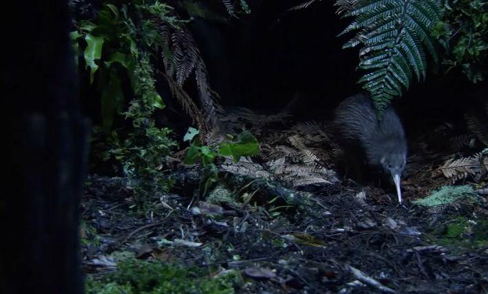 Le kiwi, le plus célèbre oiseau de Nouvelle-Zélande