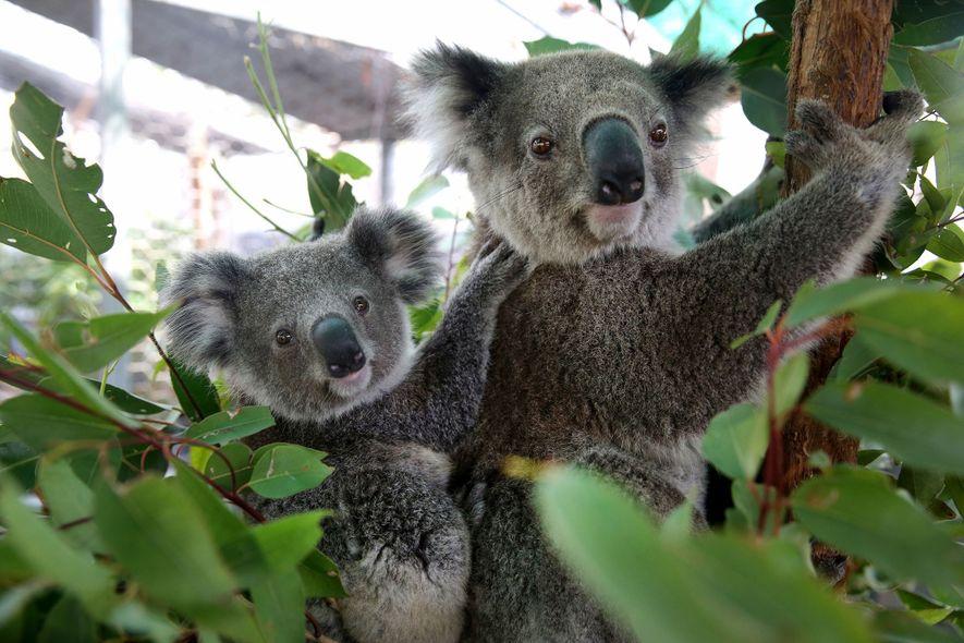 Les volontaires du Koala Hospital ont trouvé cette mère et son bébé, Julie et Joey, alors ...
