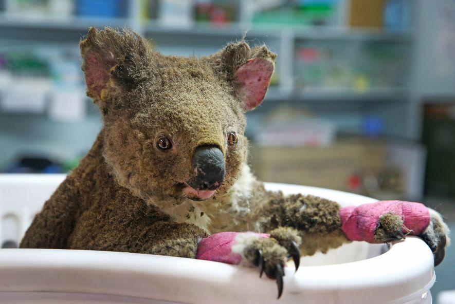Baptisée Anwen par ses sauveteurs, cette femelle koala est actuellement soignée au Koala Hospital de Port ...
