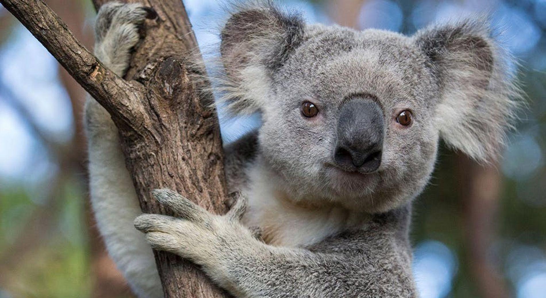 Ce koala a été photographié dans le Queensland, un état australien. Ces marsupiaux emblématiques vivent sur ...