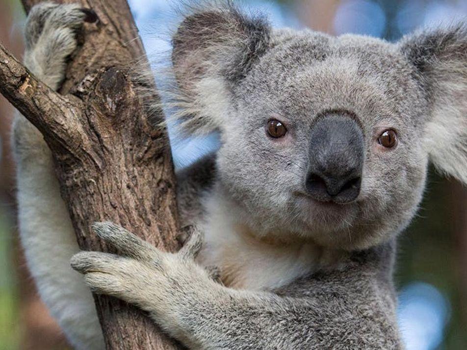 """Non, les koalas ne sont pas """"fonctionnellement éteints""""… pour l'instant"""
